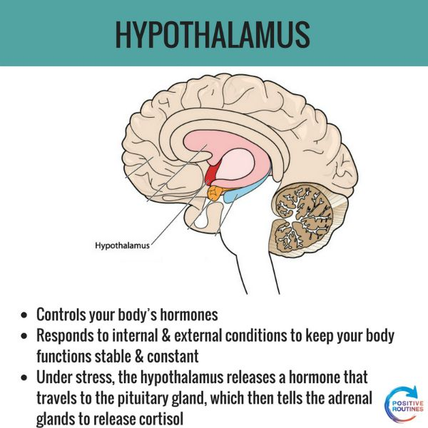 hypothalamus stress and the brain | What You Need to Know about Stress and the Brain